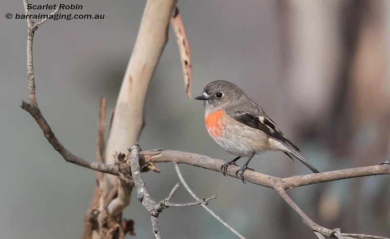 Scarlet Robin female