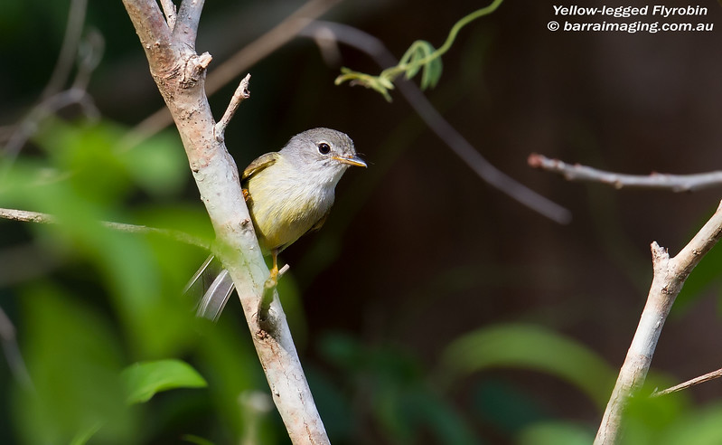 Yellow-legged Flyrobin