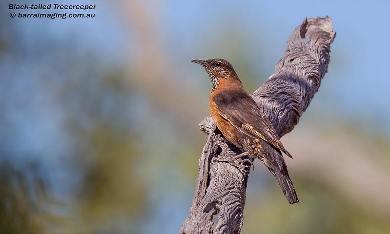 Black-tailed Treecreeper male
