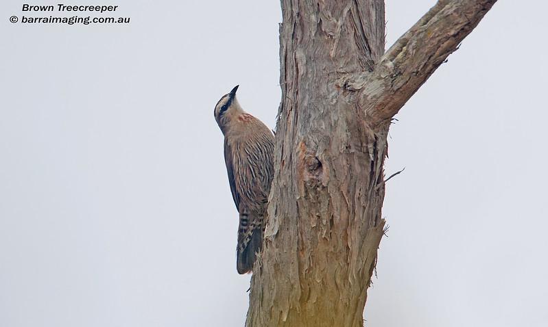 Brown Treecreeper