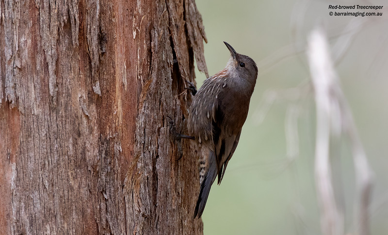 Red-browed Treecreeper female