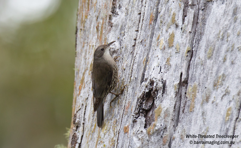 White-Throated Treecreeper male