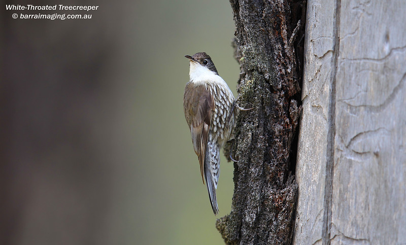 White-Throated Treecreeper female