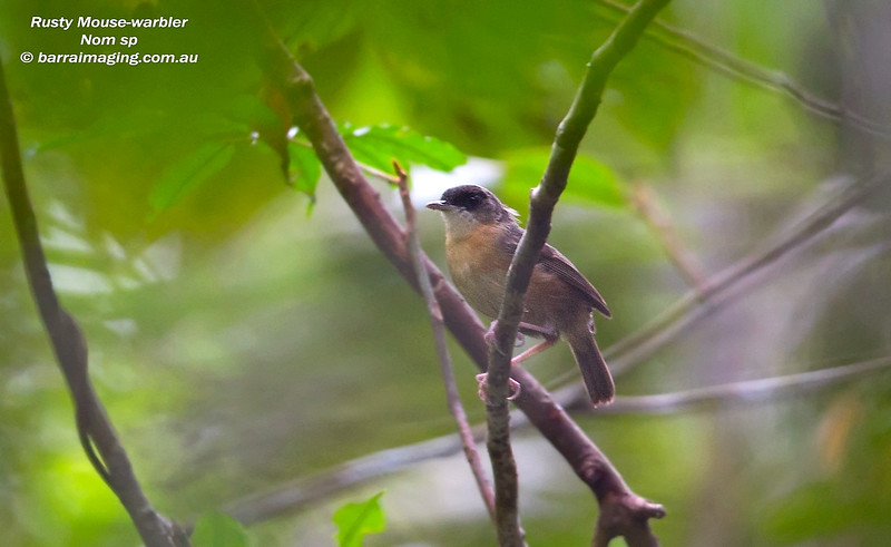 Rusty Mouse-warbler