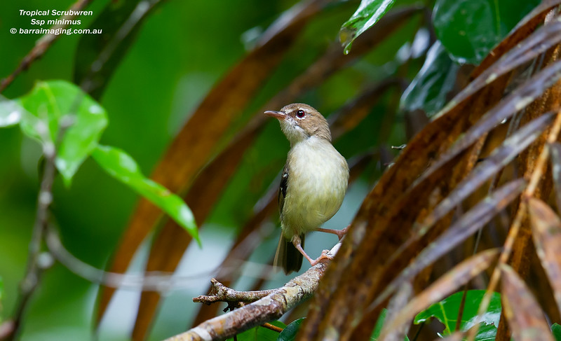 Tropical Scrubwren