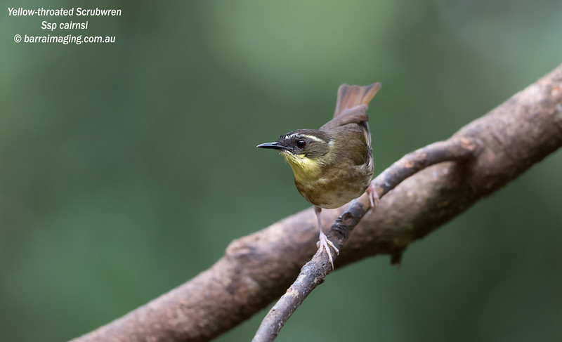 Yellow-throated Scrubwren female