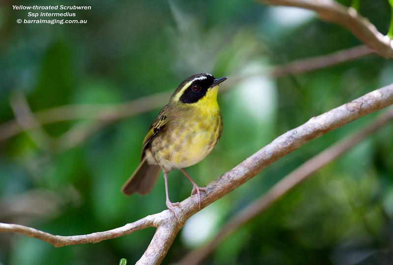 Yellow-throated Scrubwren male