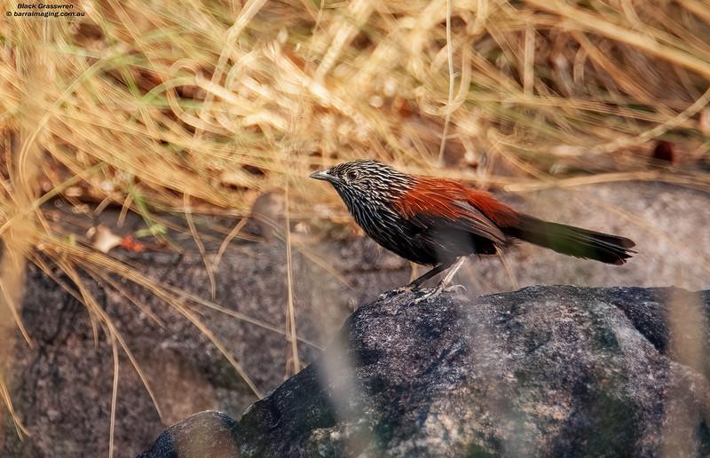 Black Grasswren male
