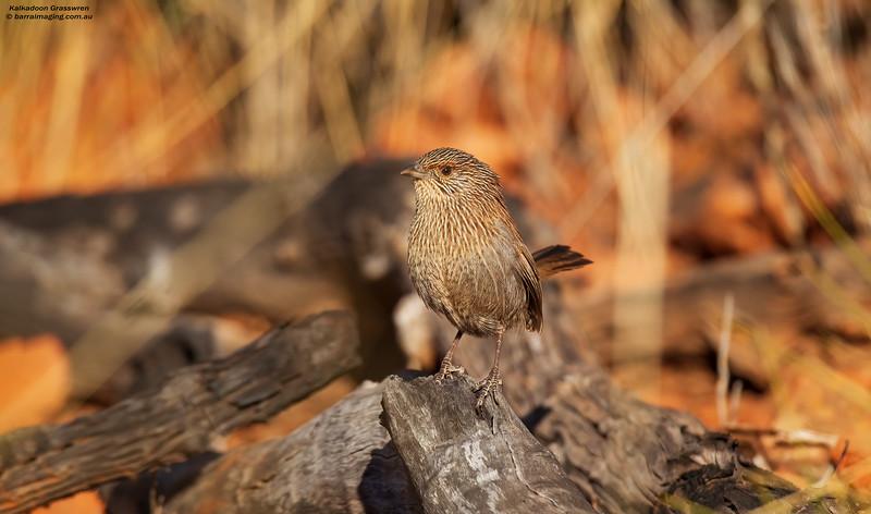 Kalkadoon Grasswren male