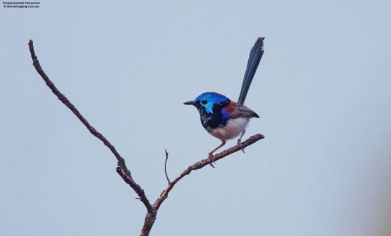 Purple-backed Fairywren male