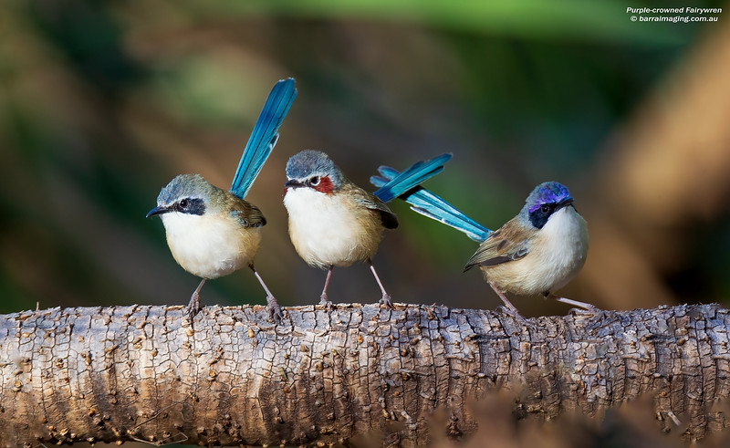 Purple-crowned Fairywren males and female