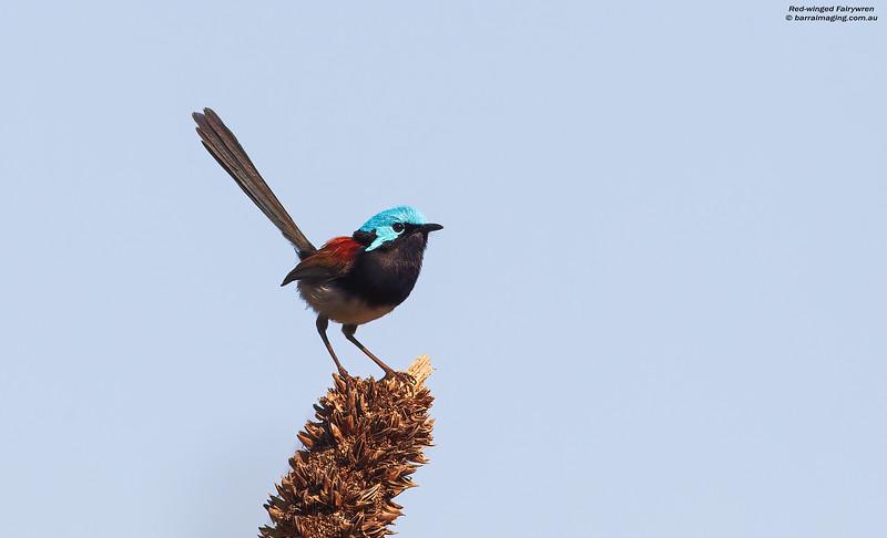 Red-winged Fairywren male