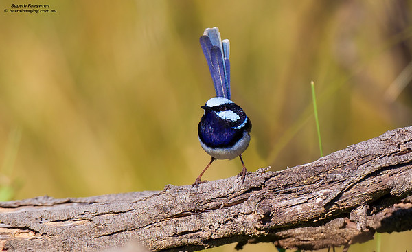 Superb Fairywren male