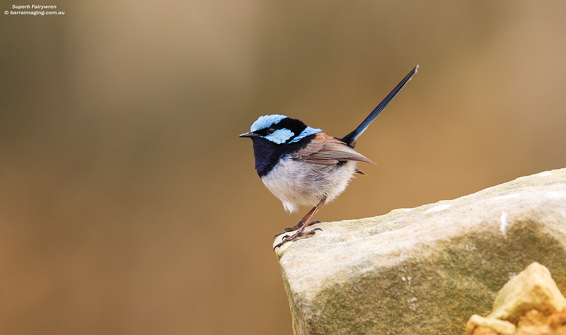 Superb Fairywren male