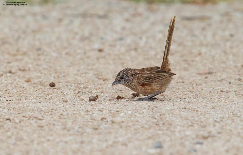 Western Grasswren female