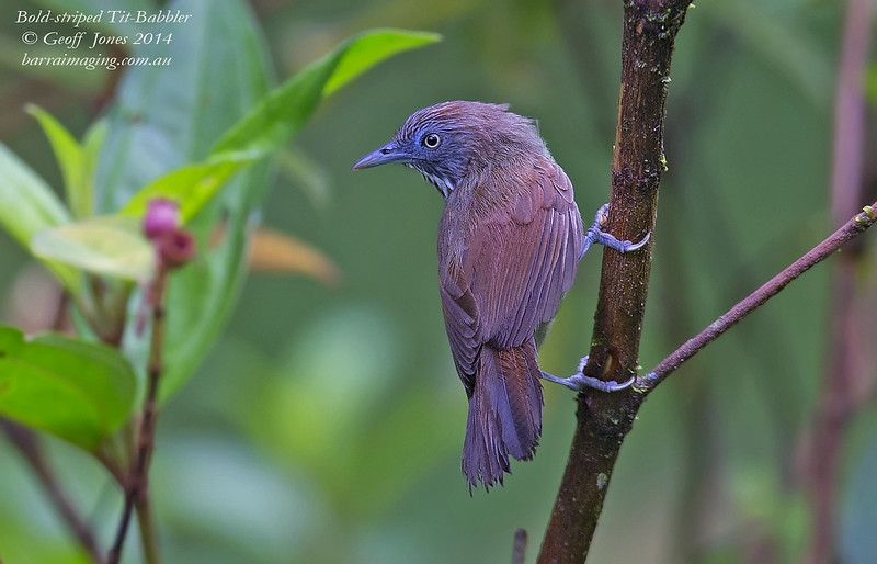 Bold-striped Tit-Babbler