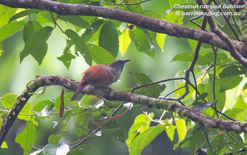 Chestnut-rumped Babbler