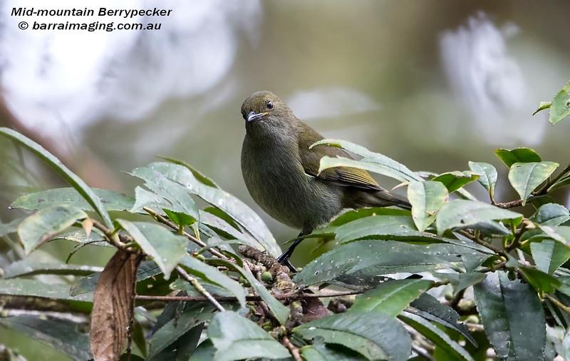 Mid-mountain Berrypecker female