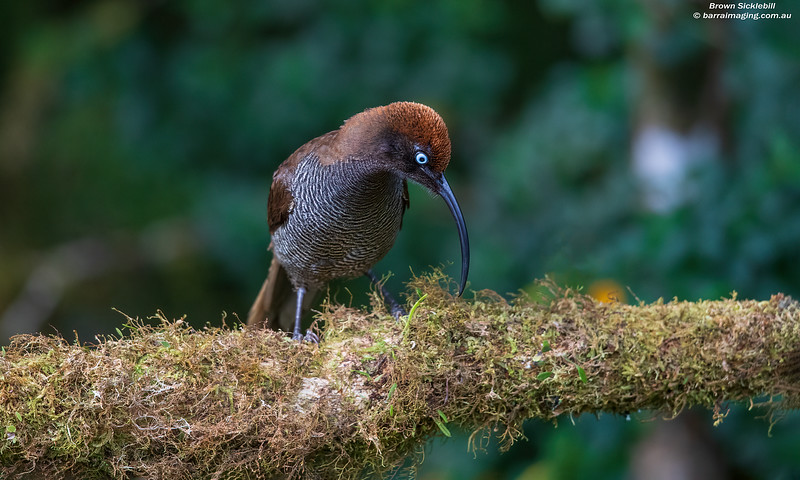 Brown Sicklebill female