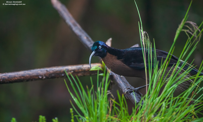 Brown Sicklebill male