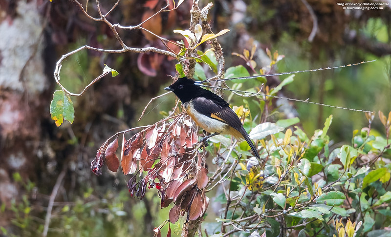 King of Saxony Bird-of-paradise male