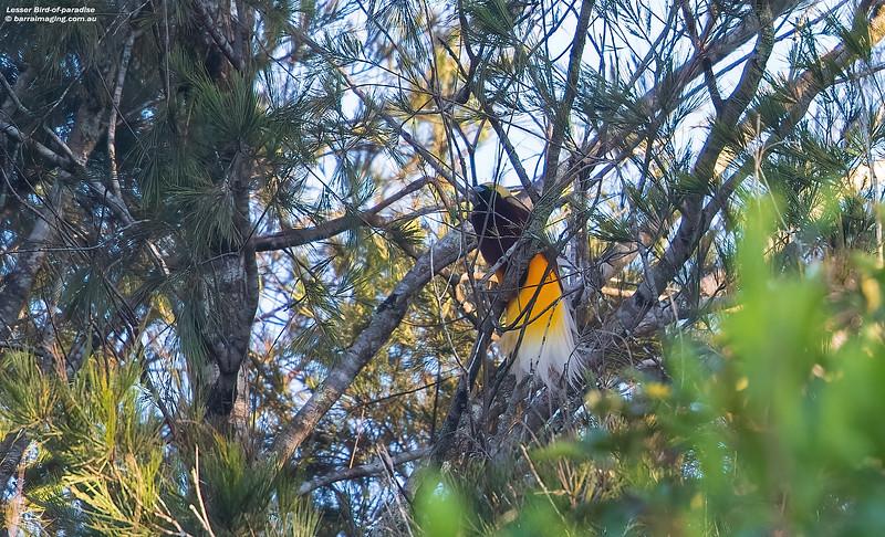 Lesser Bird-of-paradise male