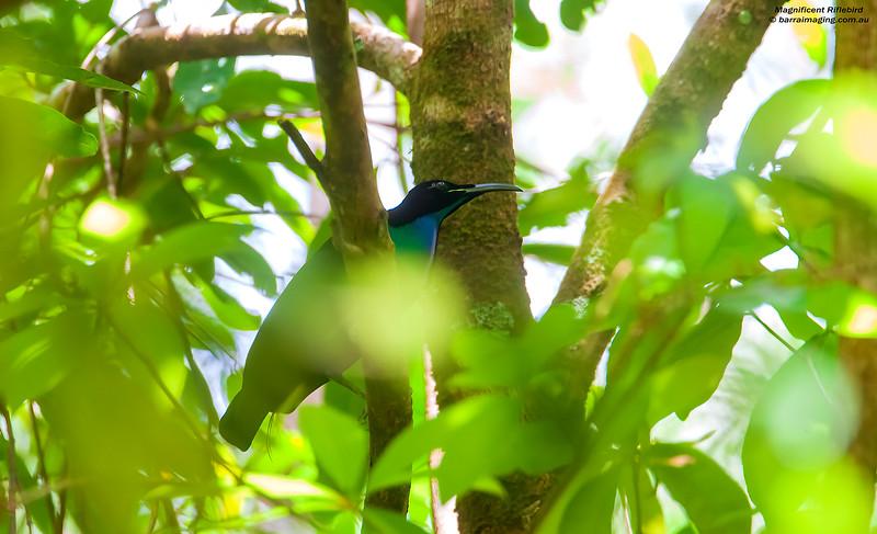 Magnificent Riflebird male