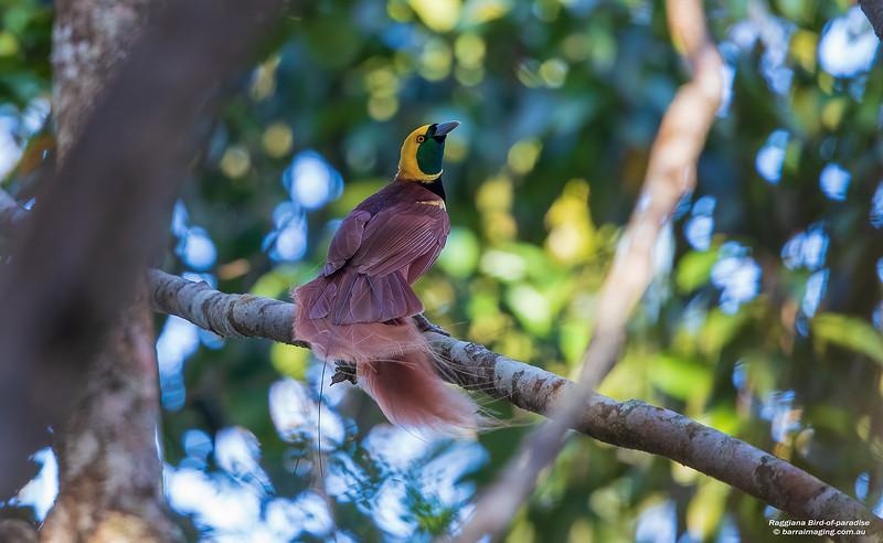 Raggiana Bird-of-paradise male