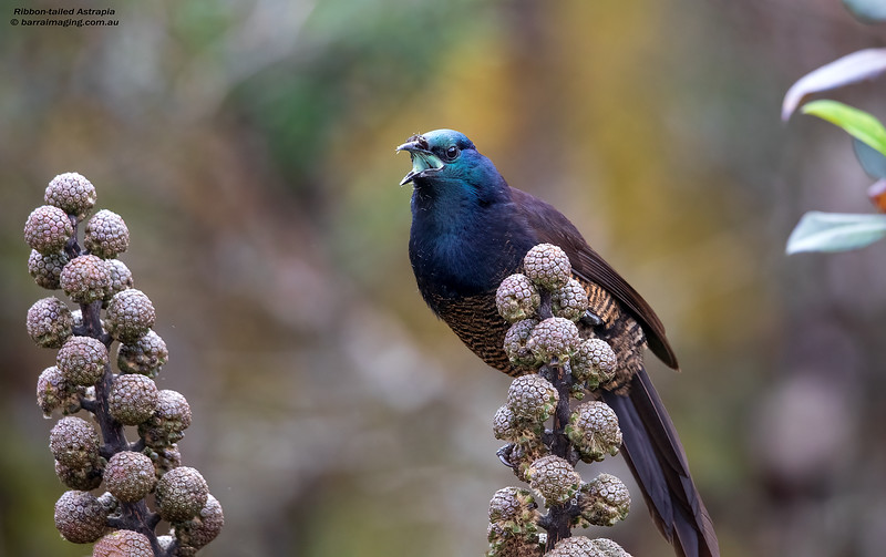 Ribbon-tailed Astrapia female