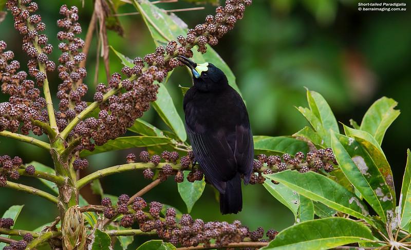 Short-tailed Paradigalla