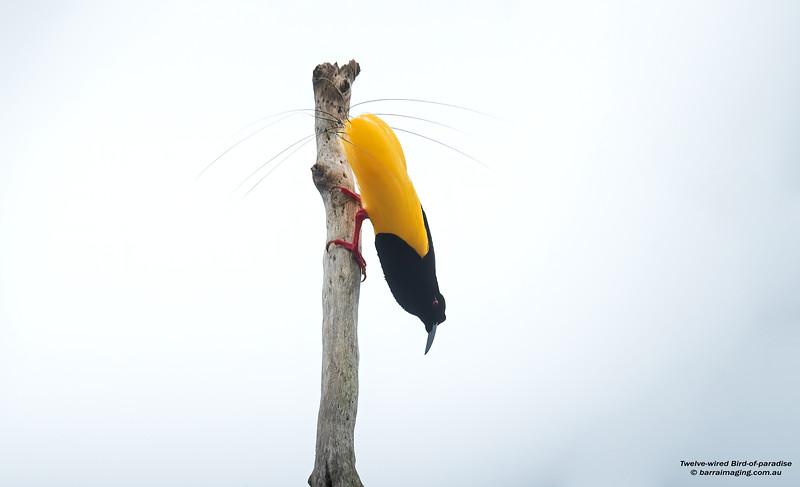 Twelve-wired Bird-of-paradise male
