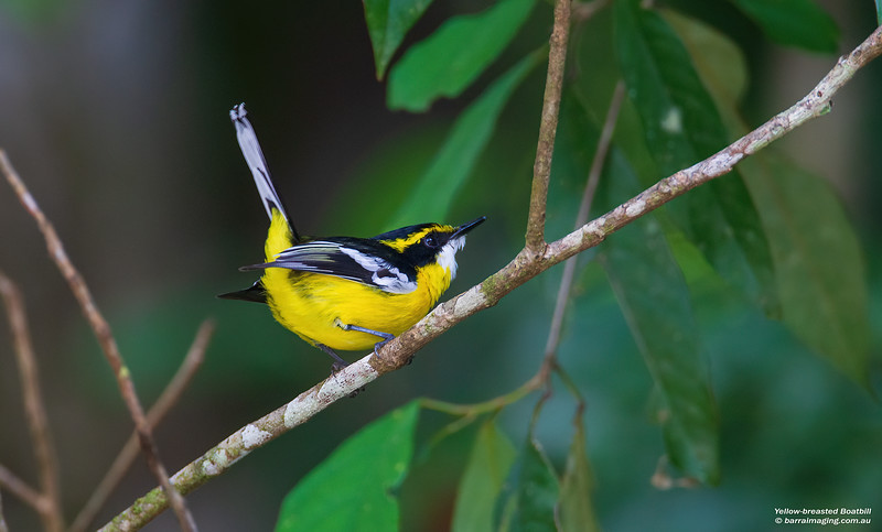 Yellow-breasted Boatbill male