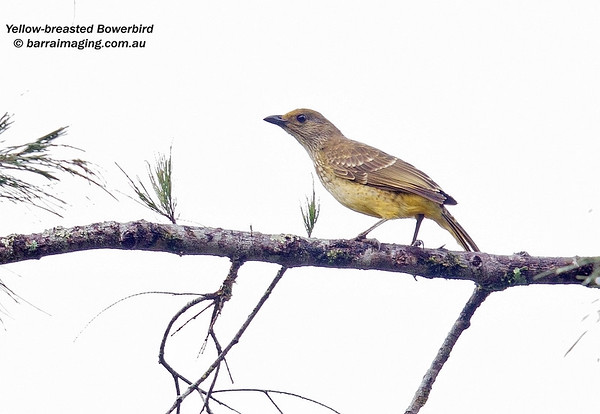 Yellow-breasted Bowerbird male