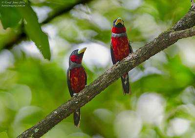 Broadbills Typical Family Eurylaimidae