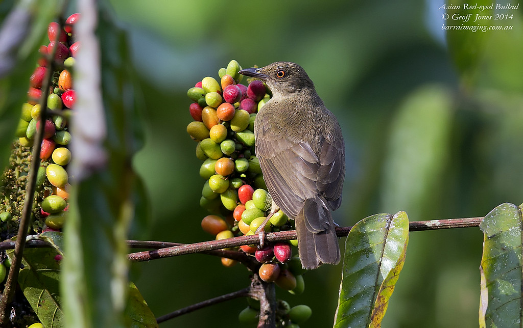 Asian Red-eyed Bulbul