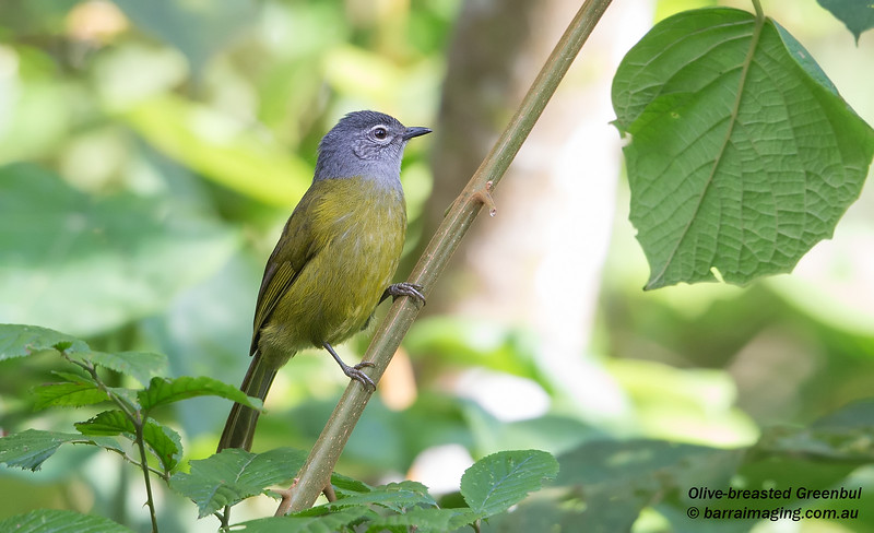 Olive-breasted Greenbul