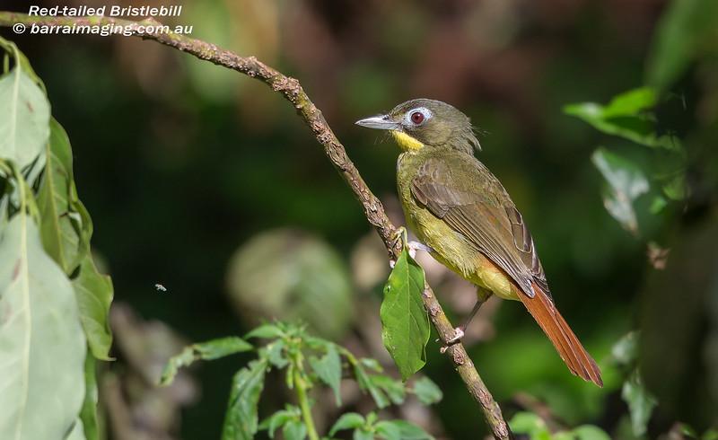Red-tailed Bristlebill
