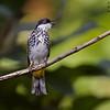 Scaly-breasted Bulbul Pycnonotus squamatus Krung Ching Thailand May 2012 TH-SBBU-01