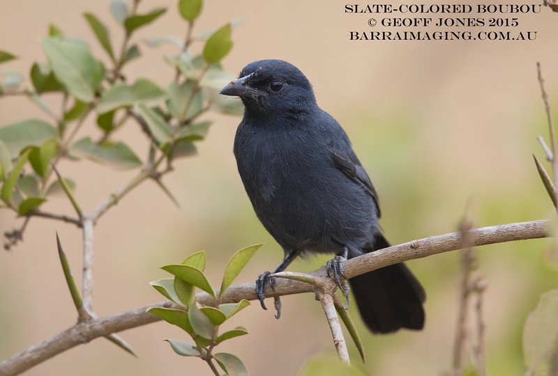 Slate-colored Boubou