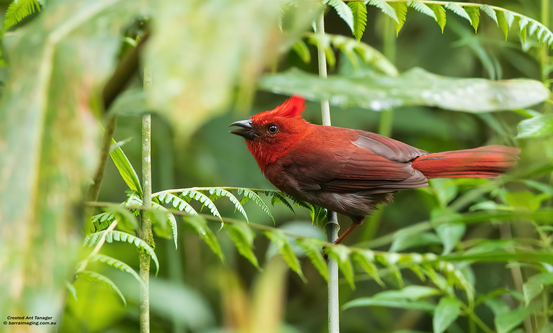 Crested Ant Tanager