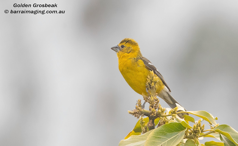 Golden Grosbeak male