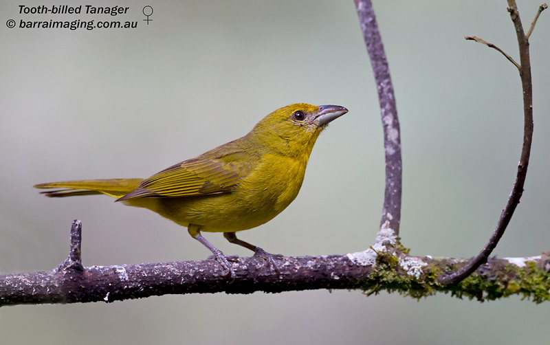 Tooth-billed Tanager female