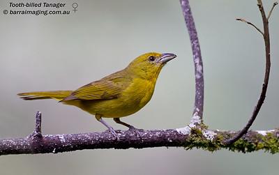 Cardinals, Grosbeaks and alliesFamily Cardinalidae