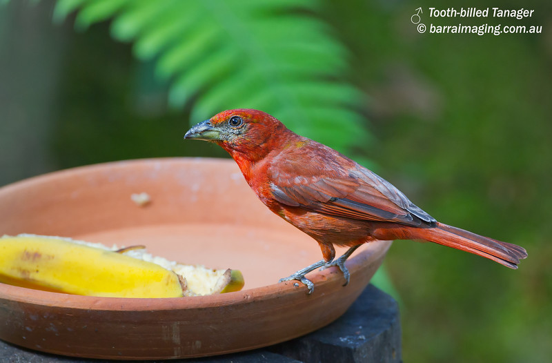 Tooth-billed Tanager male