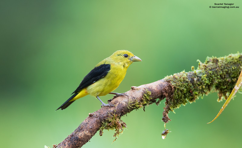 Scarlet Tanager non breeding male