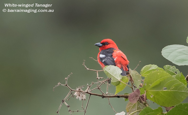 White-winged Tanager male