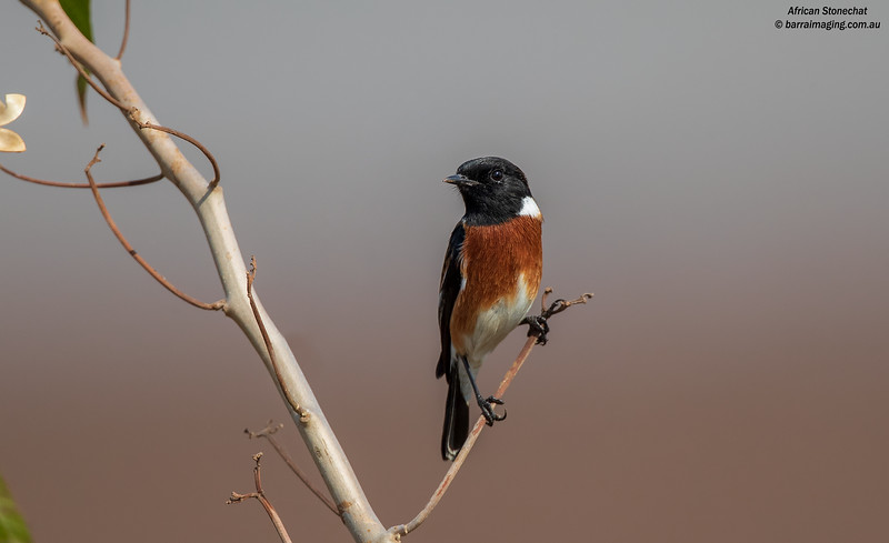 African Stonechat male