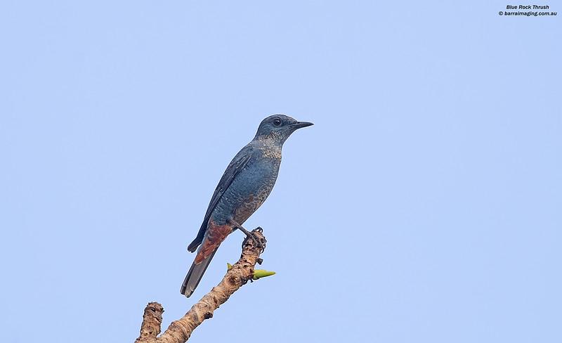 Blue Rock Thrush male