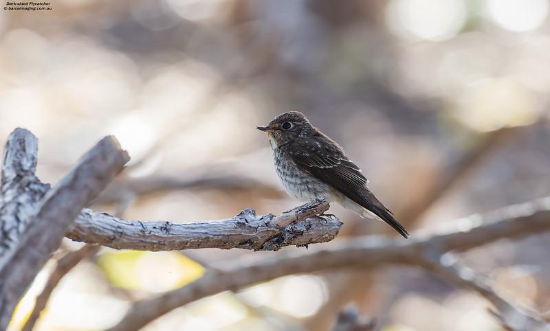 Dark-sided Flycatcher immature