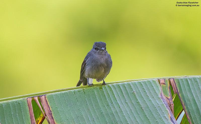 Dusky-blue Flycatcher